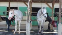 馬術競技会へ出発!ついにあの馬が新しいデビューの日を迎えます!