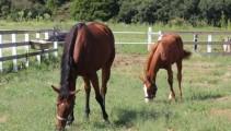 母馬、仔馬の別れの時 イガノノニの2018が離乳(乳離れ)しました。
